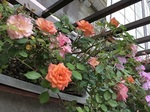 2019-5薔薇の花.JPG
